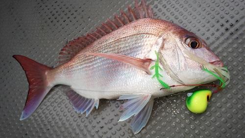 宇和海鯛ラバ釣行
