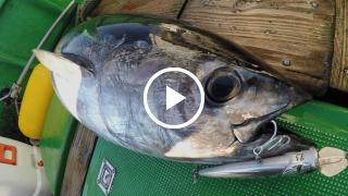 大型魚対応 ″RISER BAIT 015P″ (ライザーベイト 015P) / ヒラマサ・マグロ編