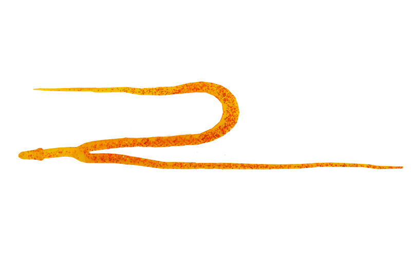 SHRIMP ORANGE / エビオレンジ