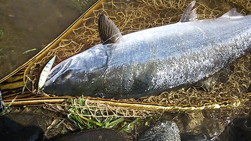 北村氏より九頭竜川釣行レポートいただきました。
