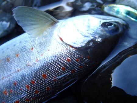 藤村修司氏より釣果写真いただきました。