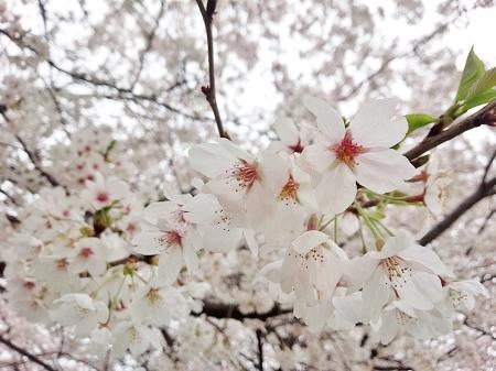 桜満開の中でサクラマス